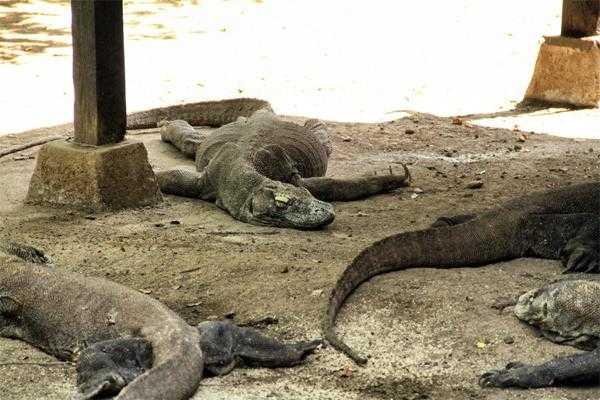 Вараны (драконы) Комодо на островах Комодо, Ринча и Падар (Индонезия)