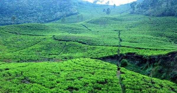 чайные плантации на Яве