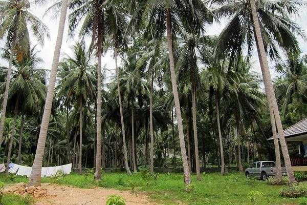 кокосовый лес на о. Самуи, Таиланд