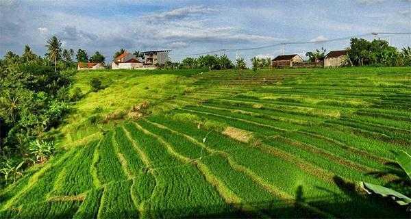рисовые поля возле Убуда на Бали